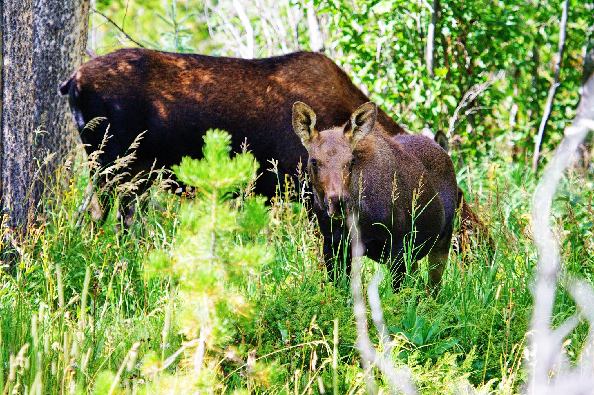 Young Moose  by daniel.luna.77920