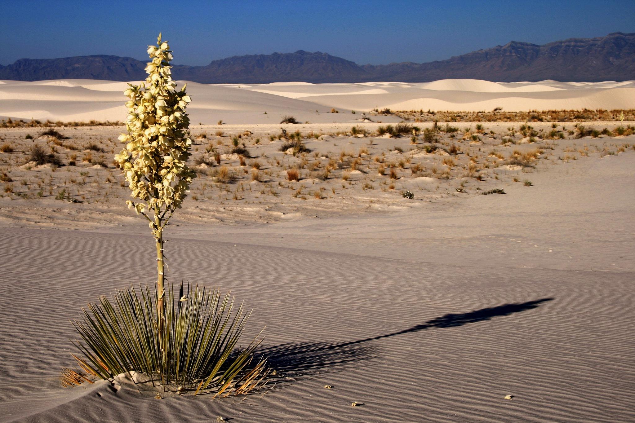 Yacca and White Sand by daniel.luna.77920