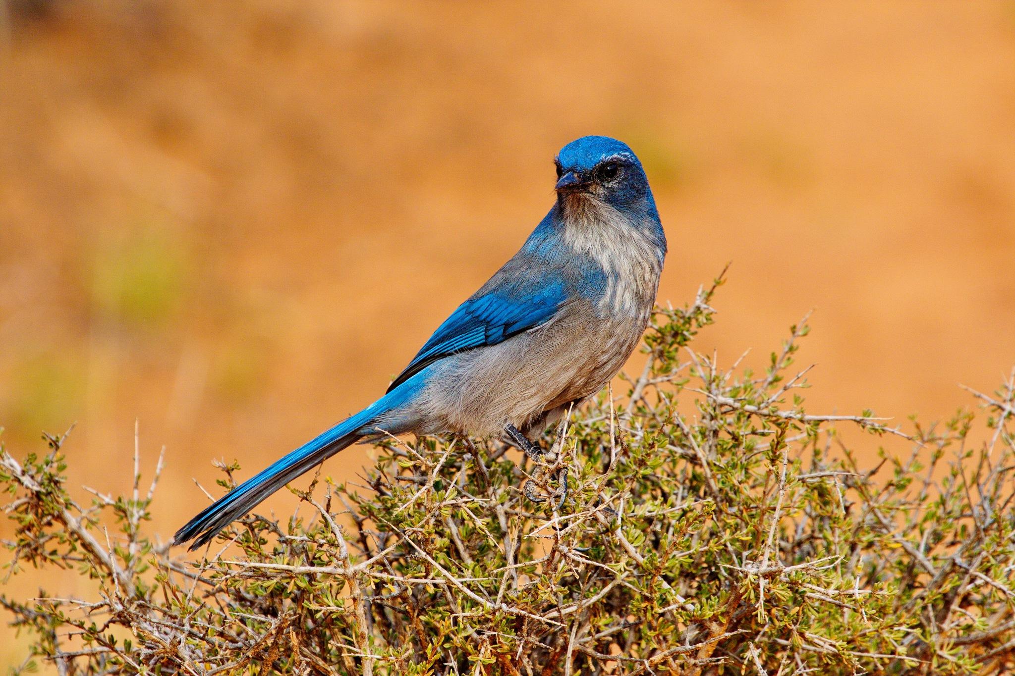 Western Bluebird 2 by daniel.luna.77920