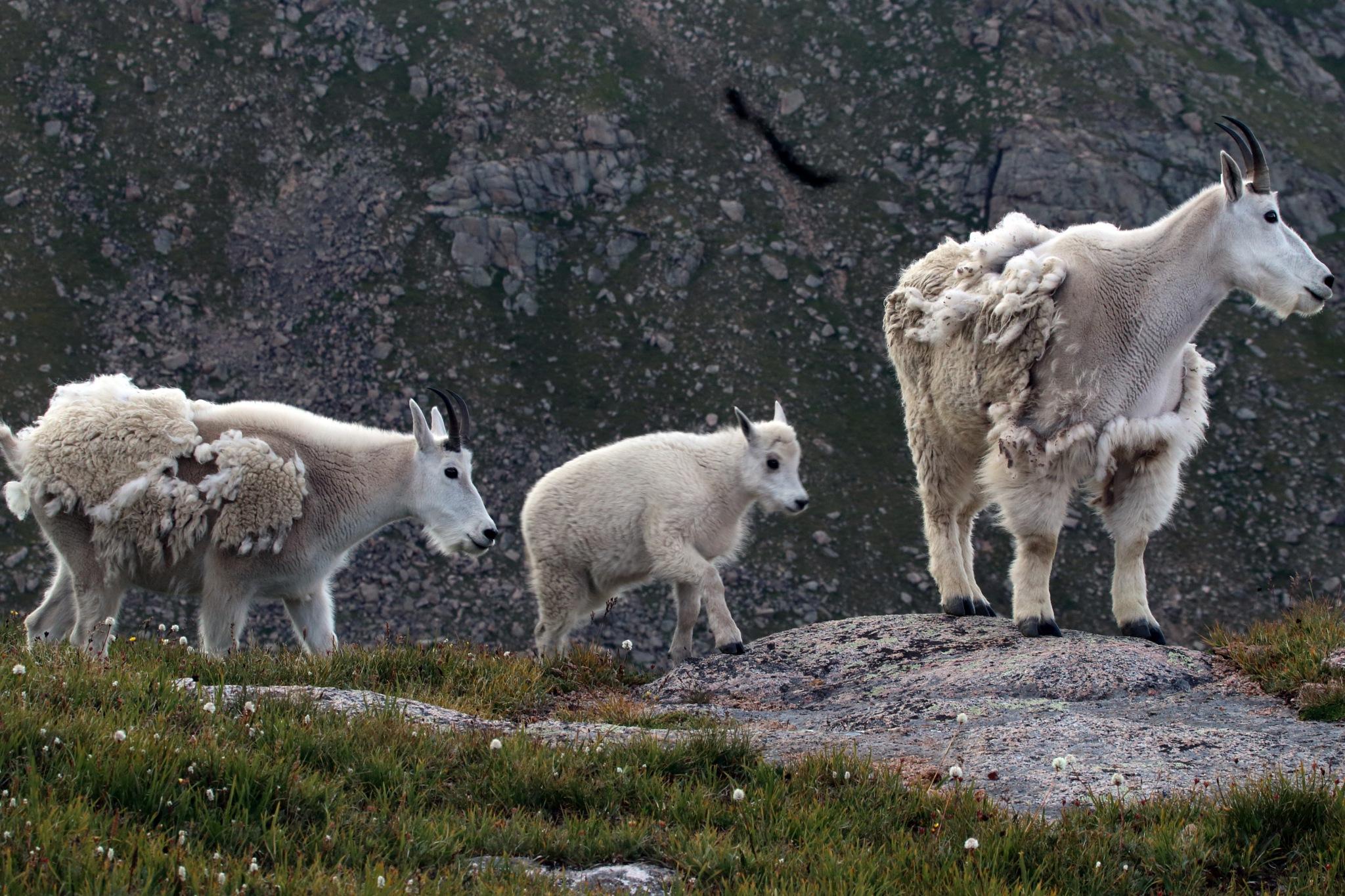 RM Goats by daniel.luna.77920