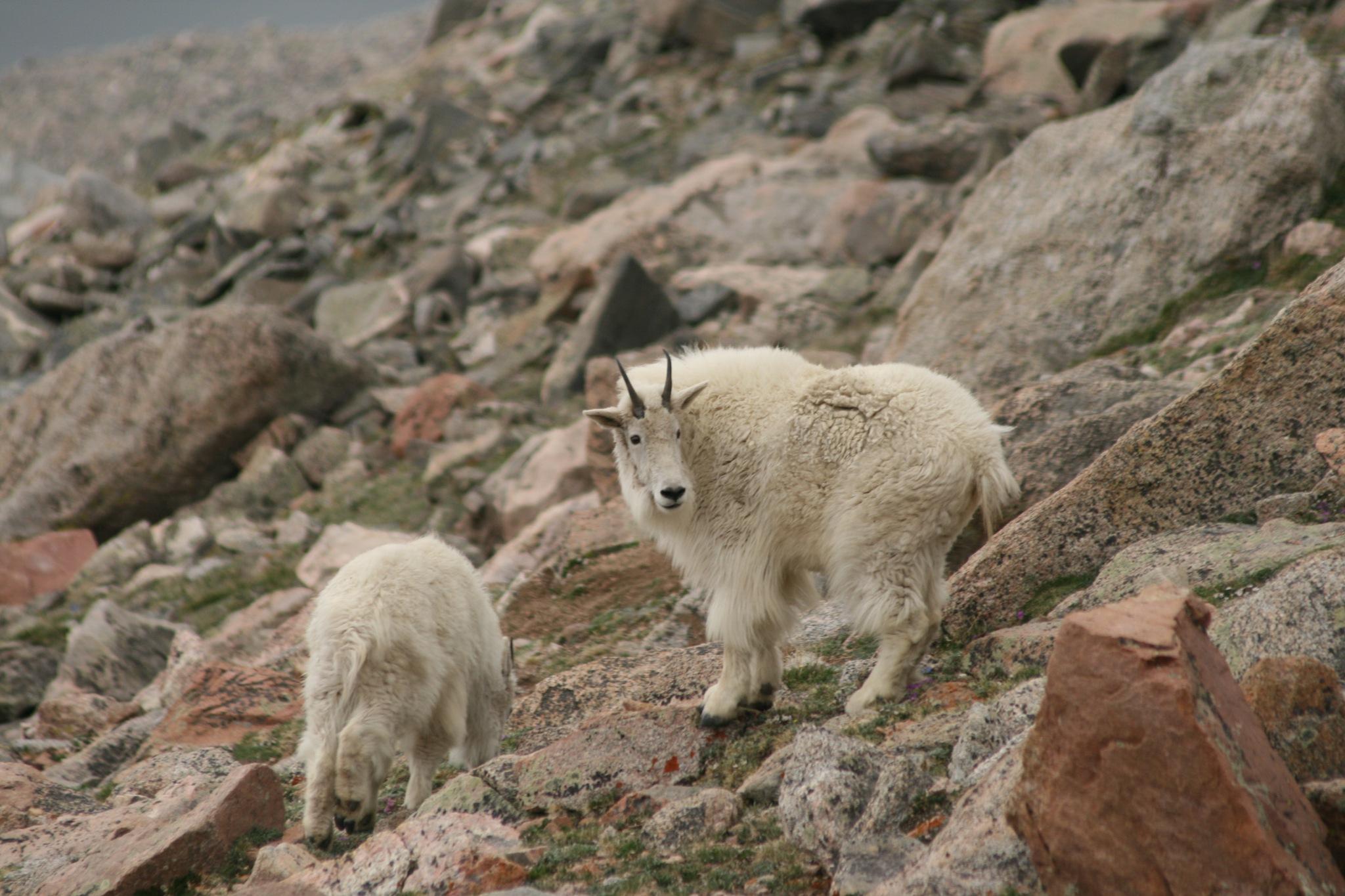 Rocky Mountain Goats by daniel.luna.77920