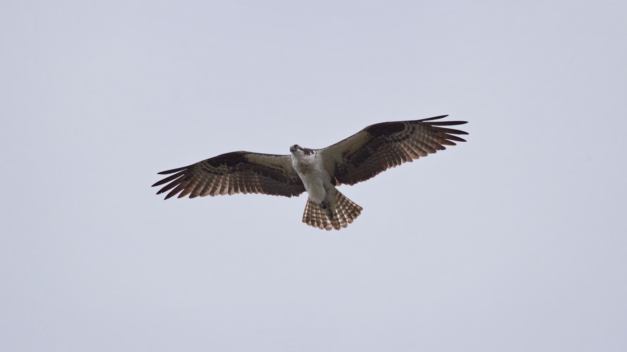 Osprey by daniel.luna.77920