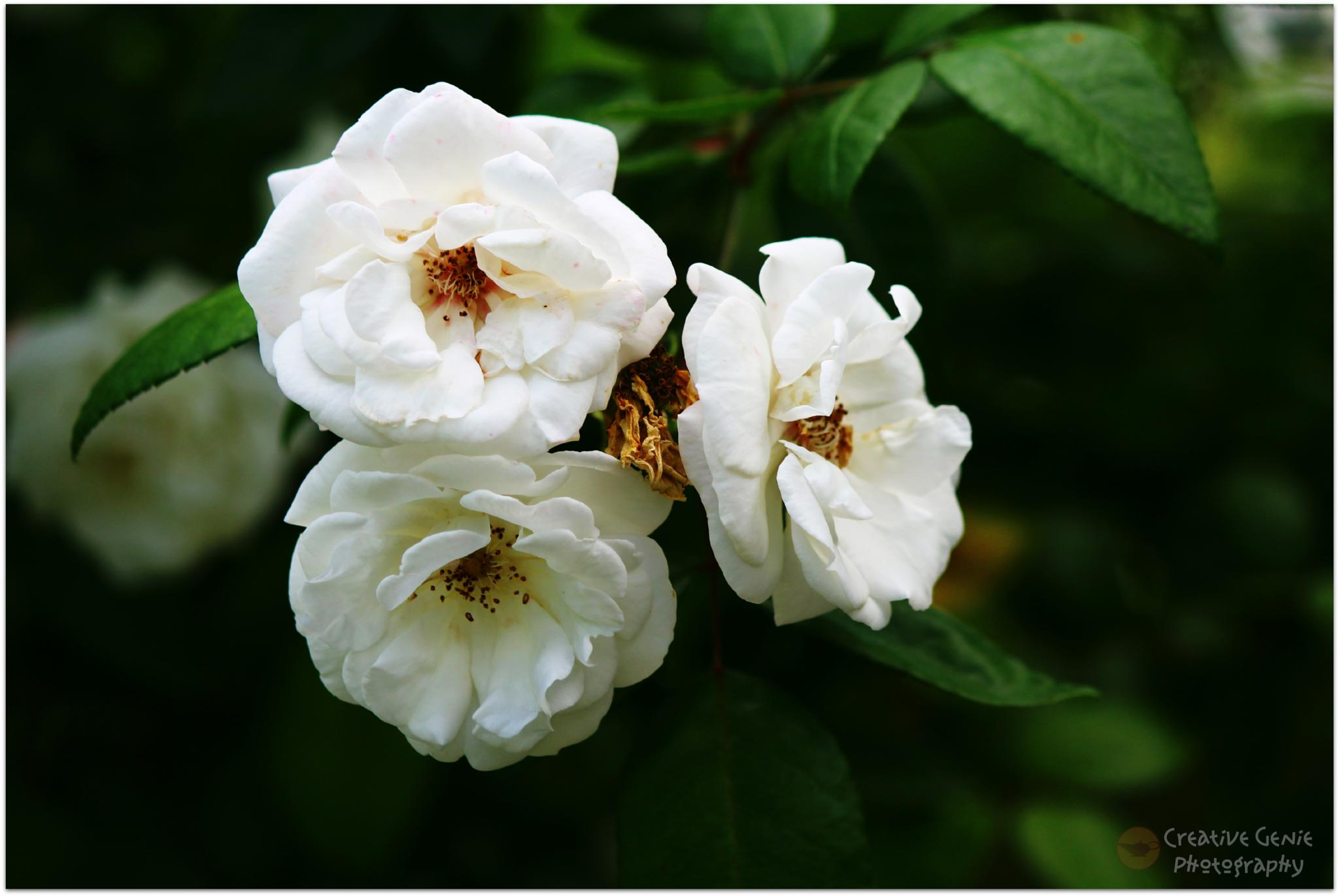 Juanita the Rose Bush by Creative Genie Photography