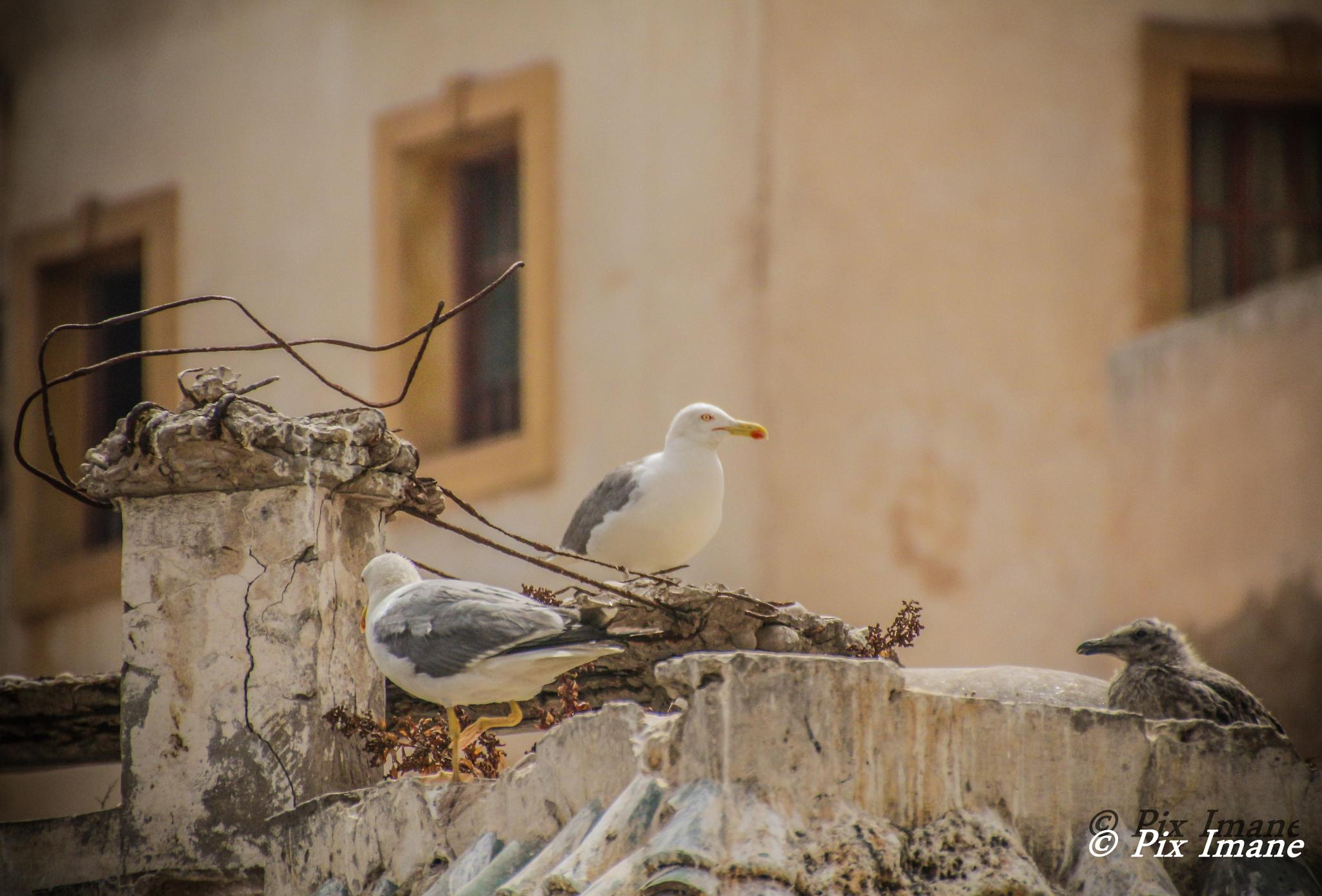 Seagulls in Essaouira by PixImane Photography