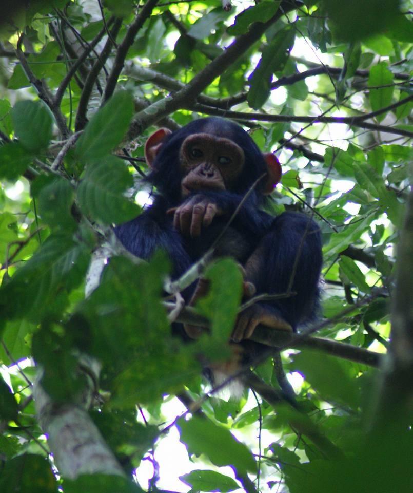 chimp by Peter Rujabuka