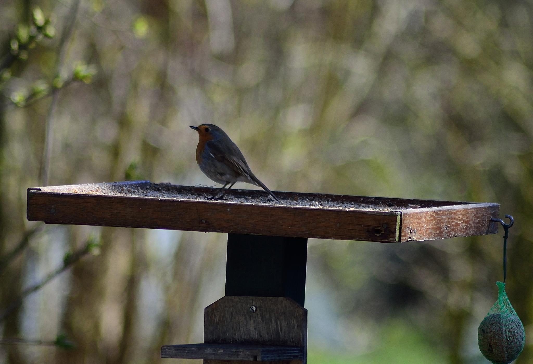 Roodborstje / European Robin (Erithacus rubecula) by bartsmid