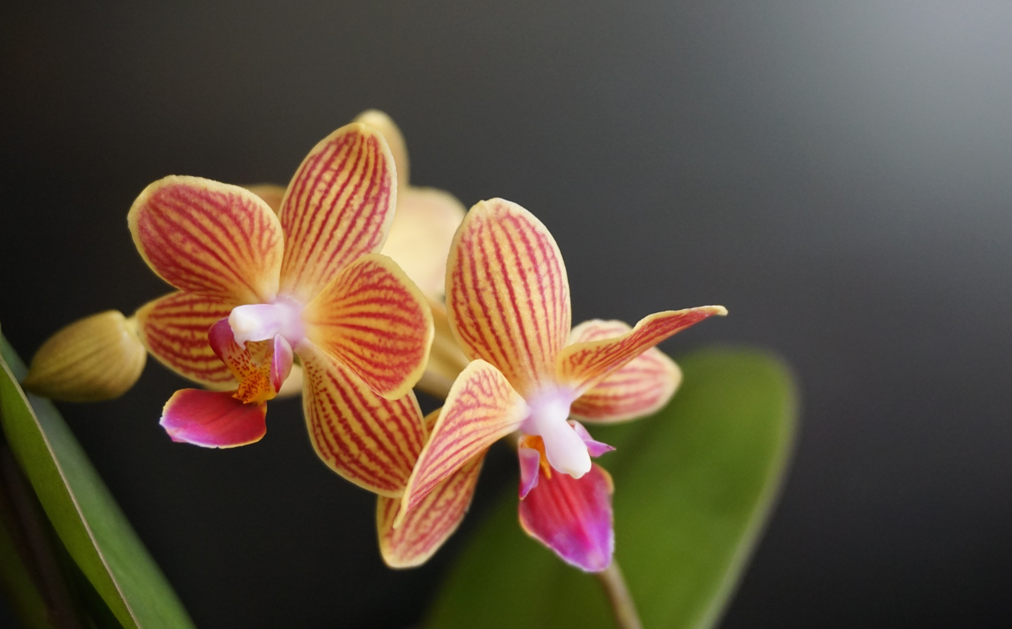 Striped Orchid by Ana Victoria Larkin