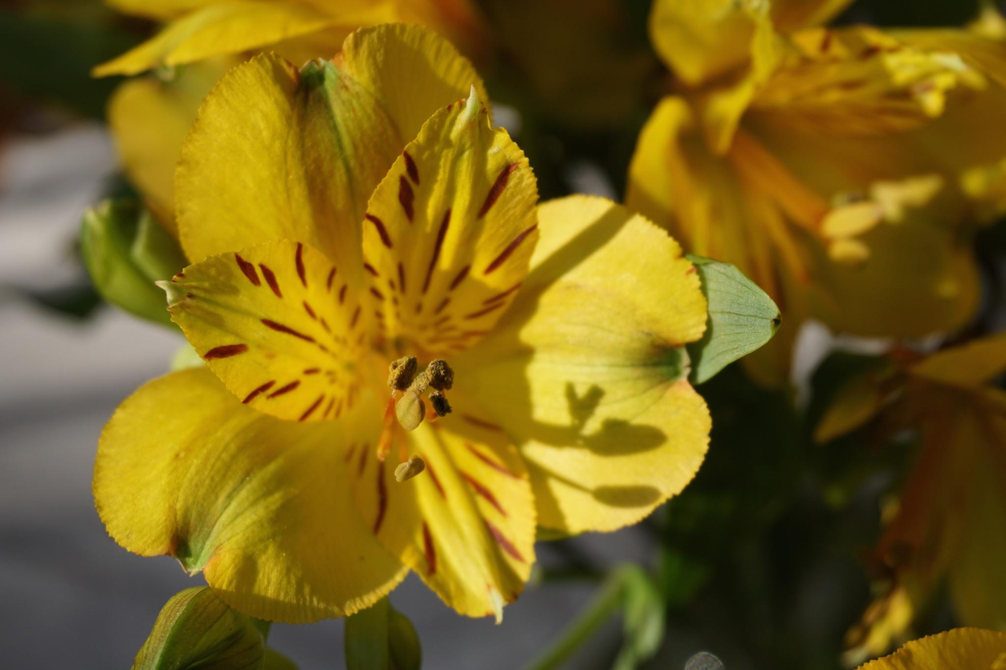 Golden Alstroemeria by Ana Victoria Larkin