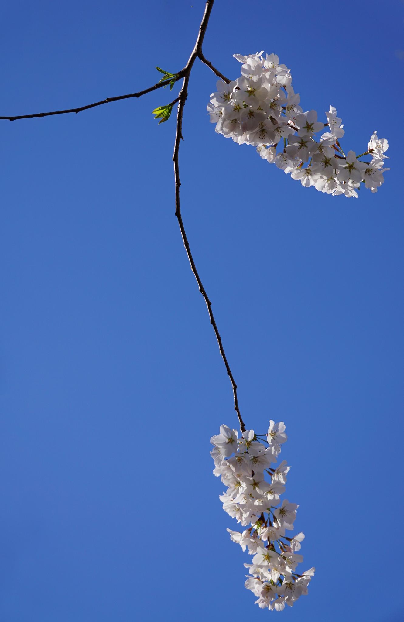 Cherry Blossoms by Ana Victoria Larkin
