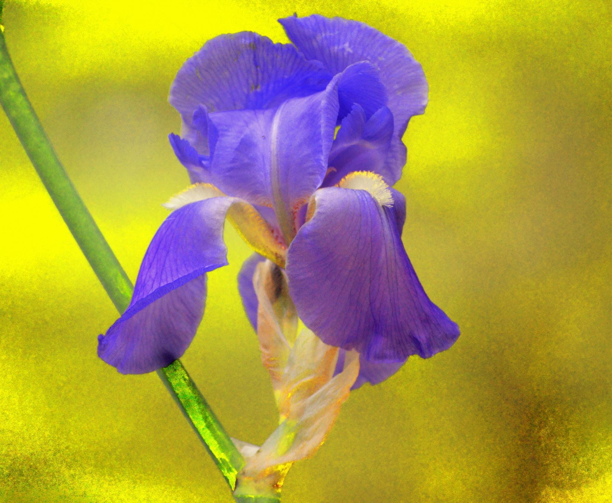 irridescent iris by celeni.sasser