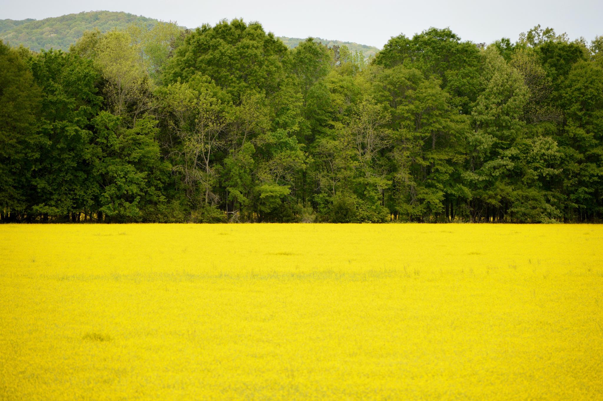 bright yellow spring field by celeni.sasser