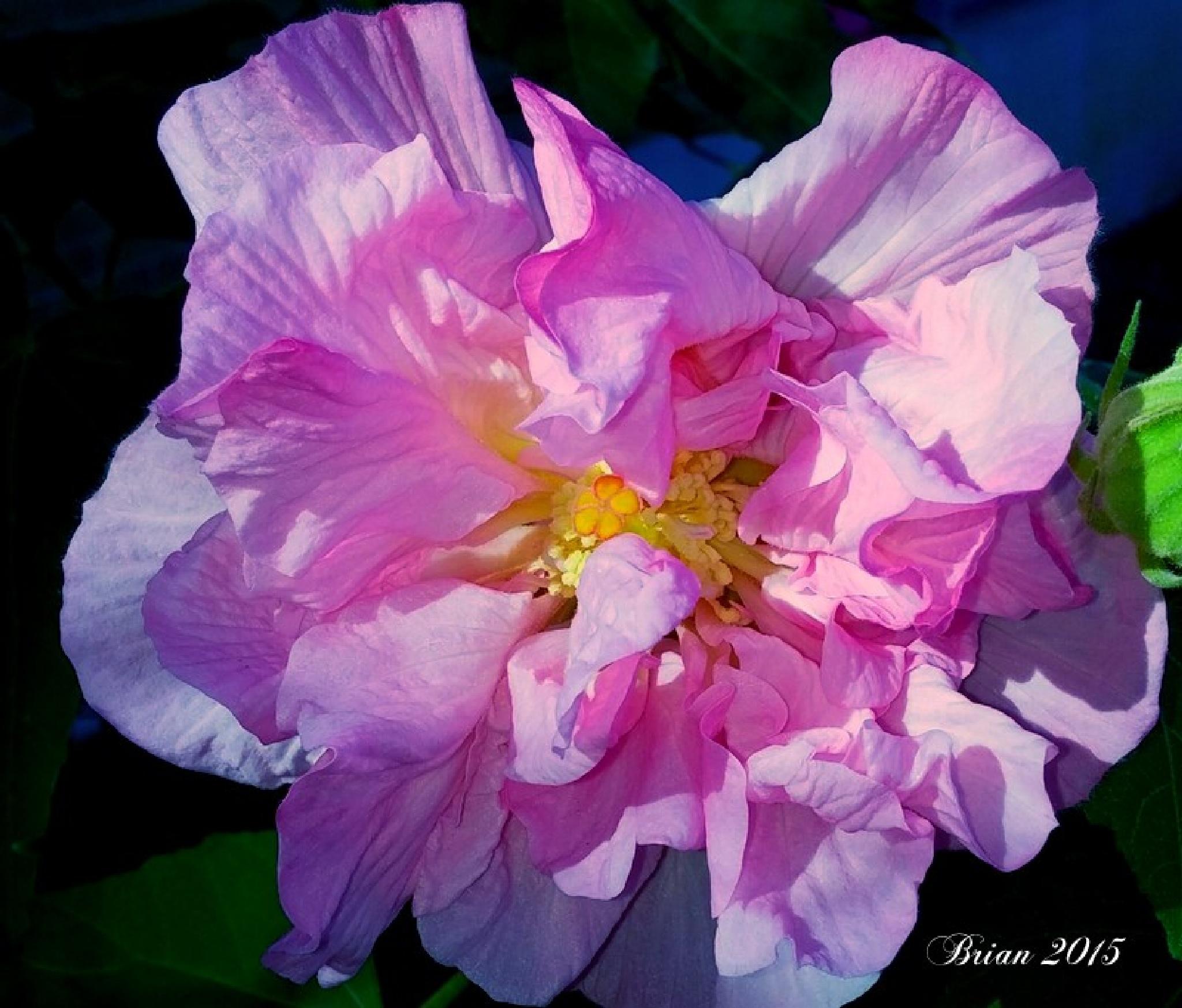 Confederate Rose (Hibiscus mutabilis) by Brian