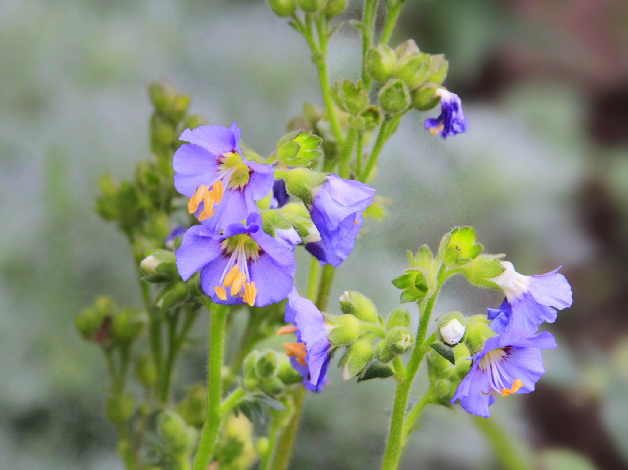 Photo in Nature #jacob's ladder #midwest #garden