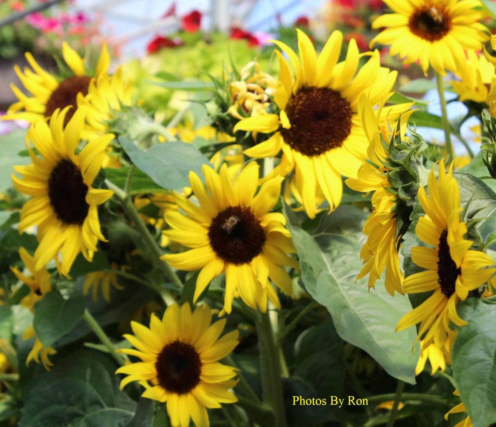 """Sunflower Falls""  by Ron Berkley"