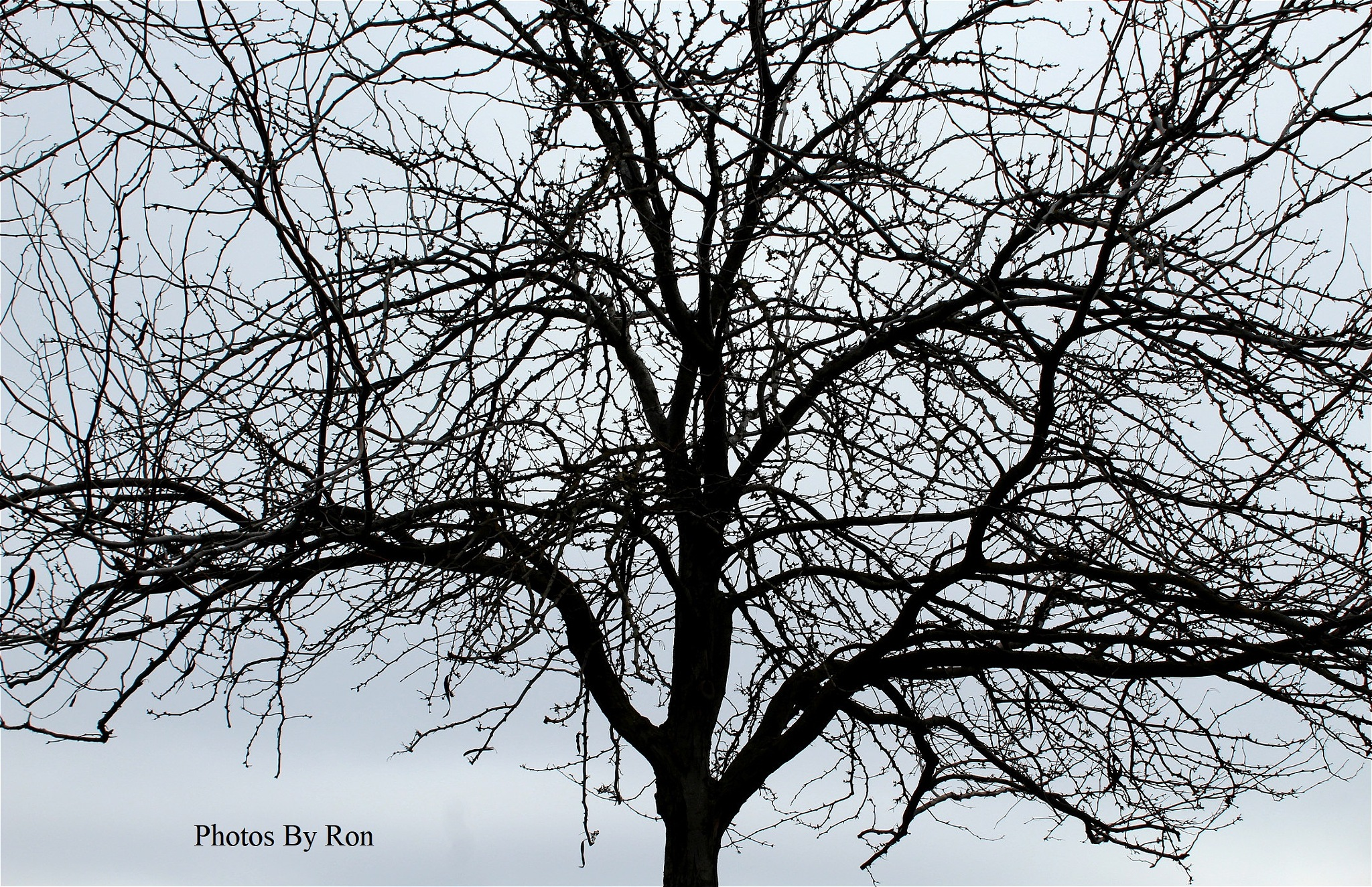 """Winter Shade Tree""  by Ron Berkley"