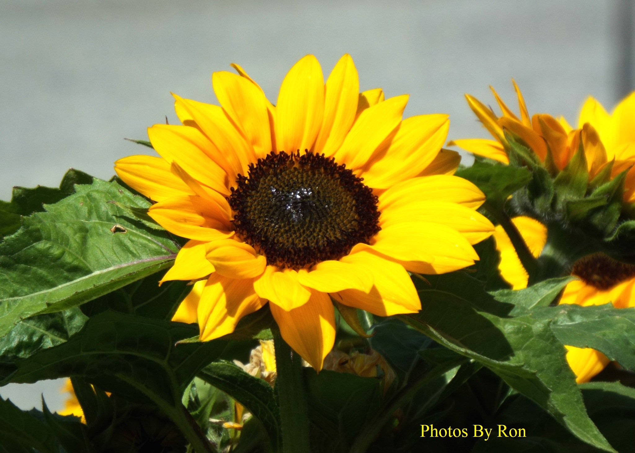 """Sunflower Meets The Fly"" by Ron Berkley"