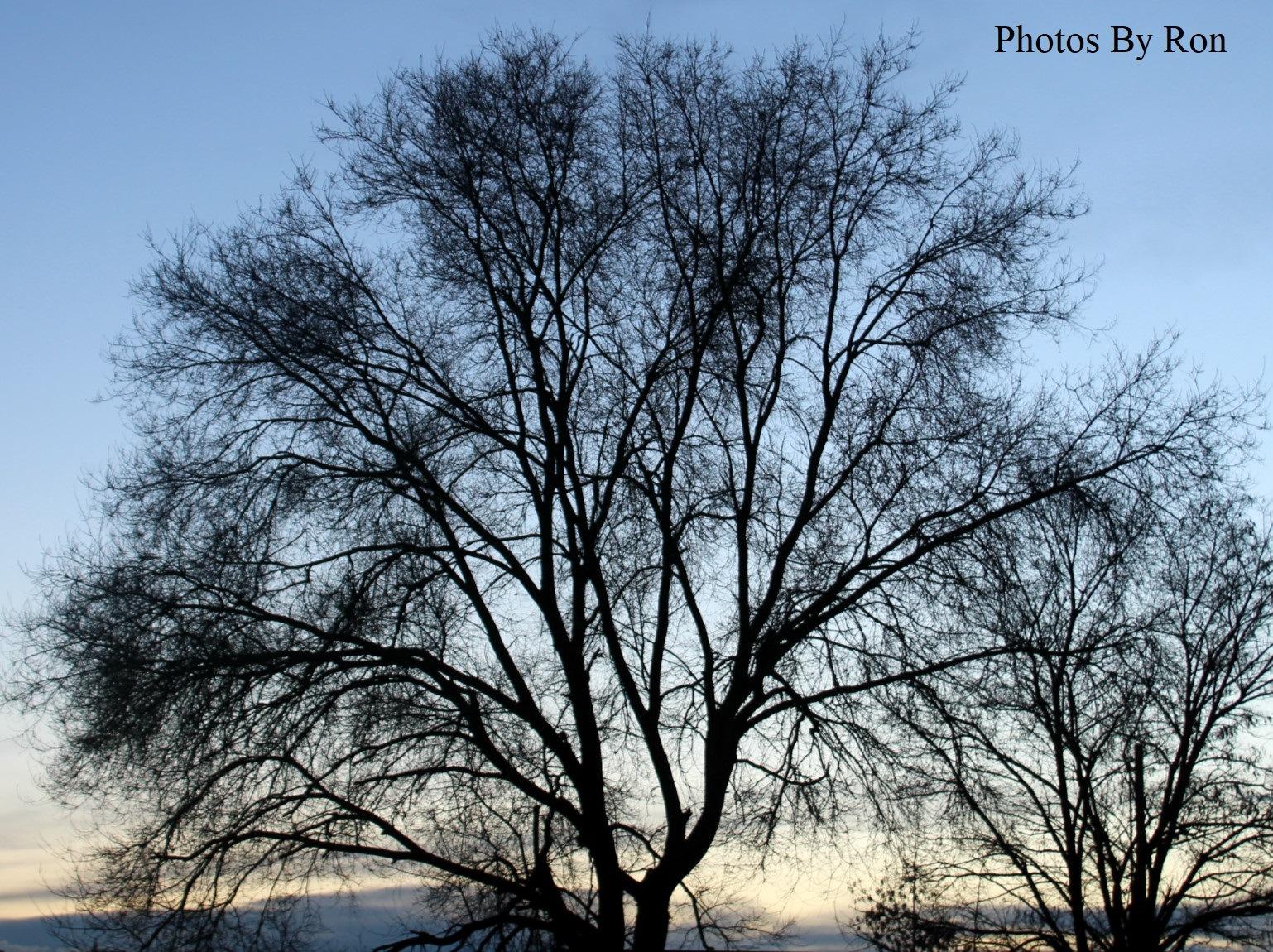 """A Neighbors Trees At Dusk"" by Ron Berkley"