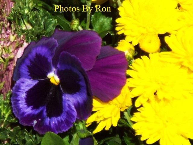 """Pansies In The Sun""  by Ron Berkley"