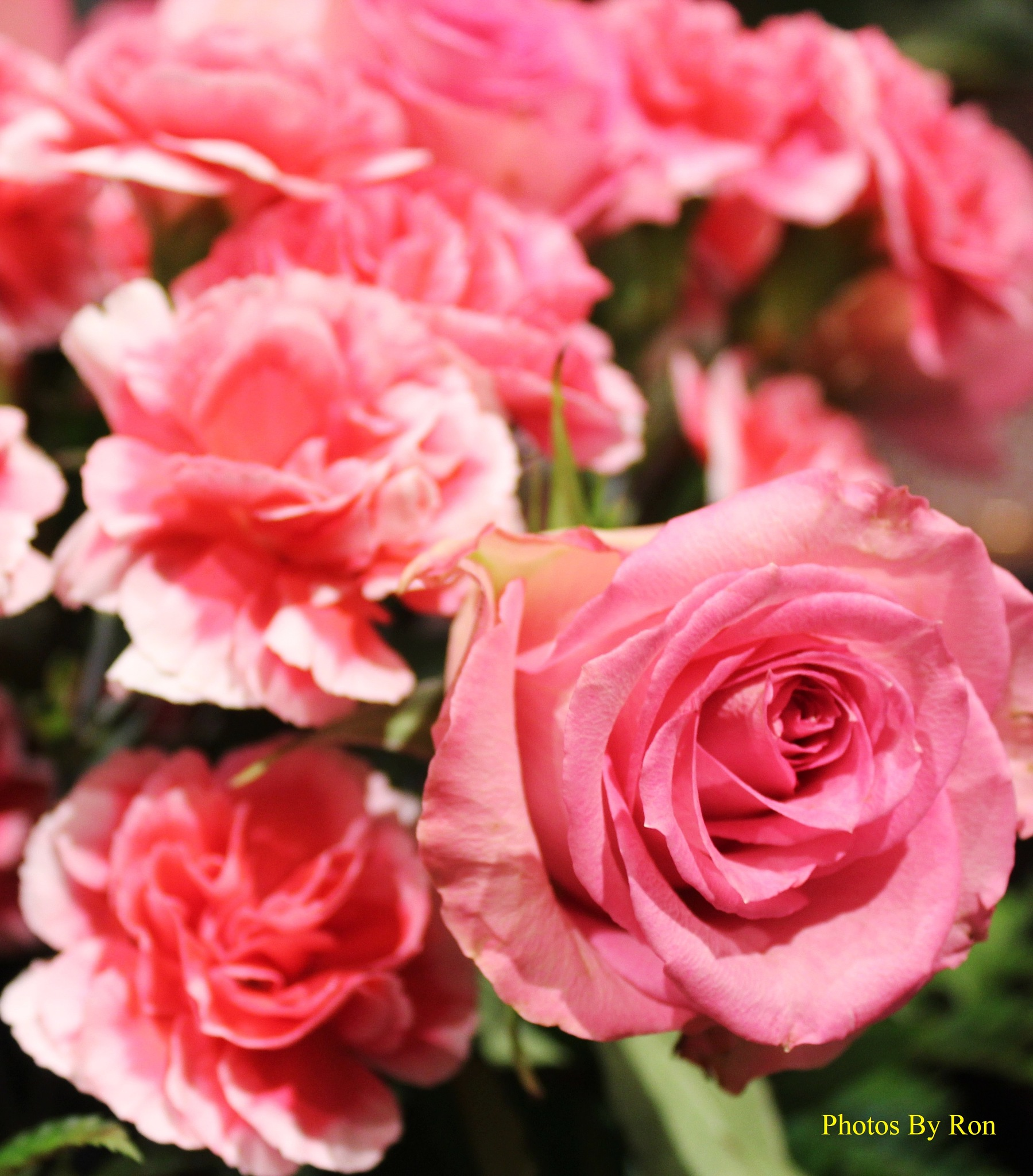 """""""Blushing Roses"""" by Ron Berkley"""