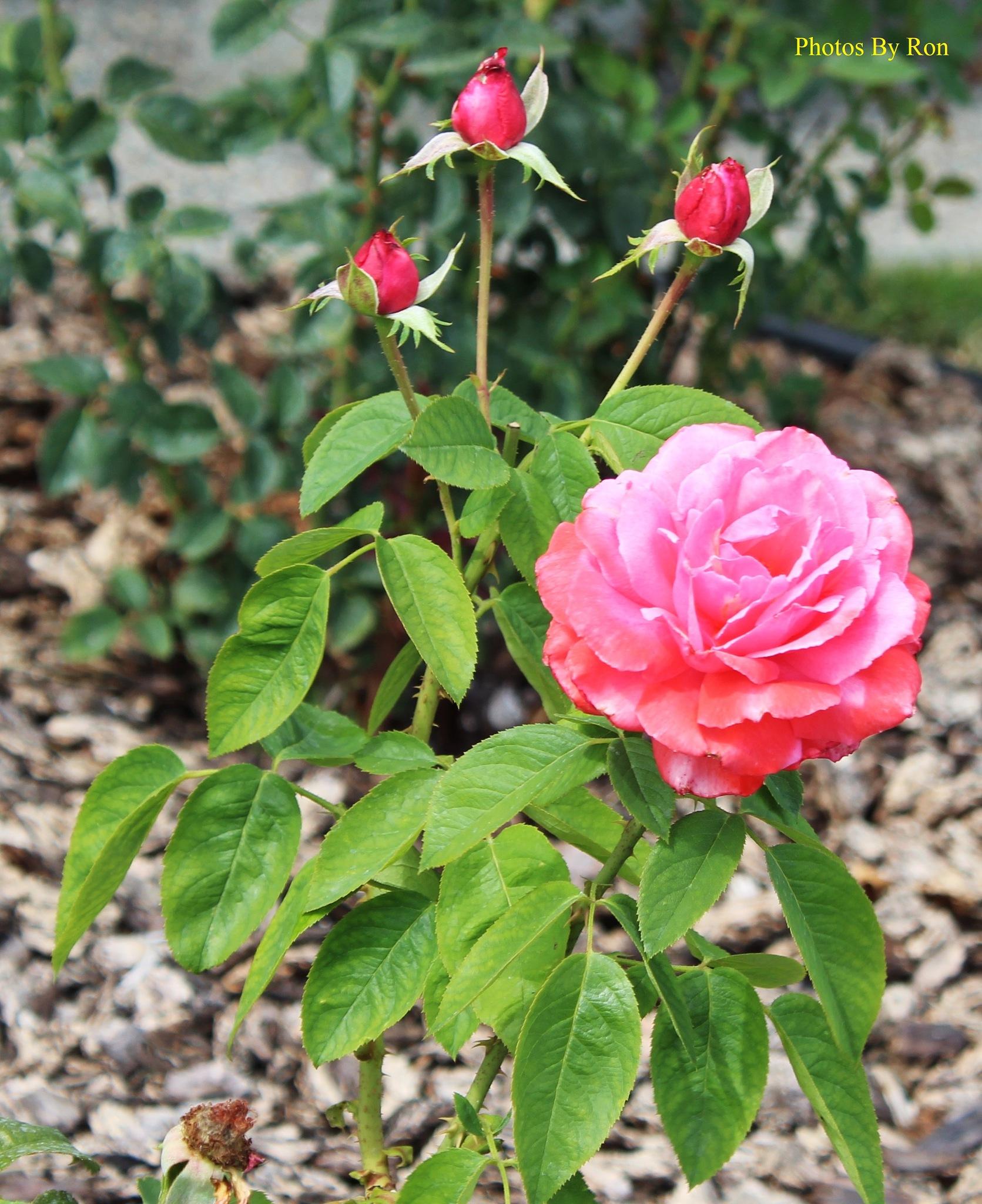 """""""Rose & Her Triad"""" by Ron Berkley"""