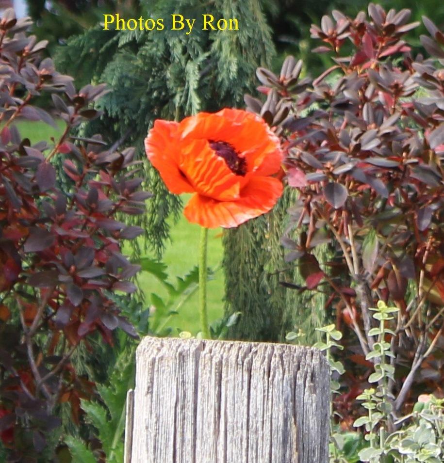 """Late Poppy"" by Ron Berkley"