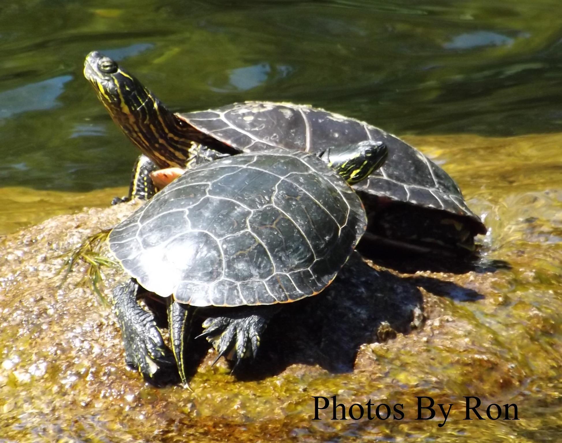 """Mirabeau Turtles"" by Ron Berkley"