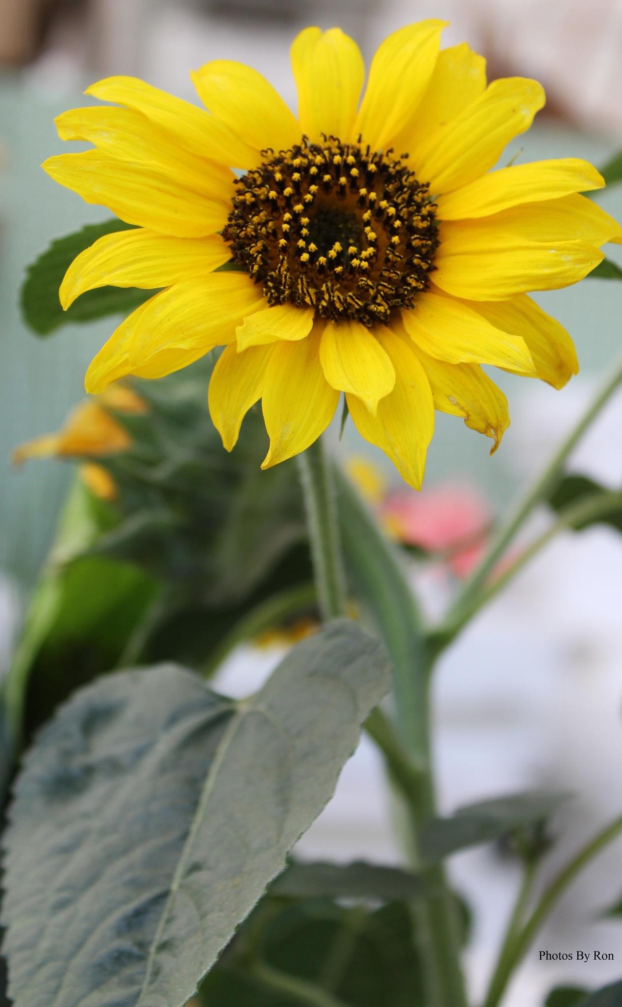 """""""Sunny Smiles"""" by Ron Berkley"""