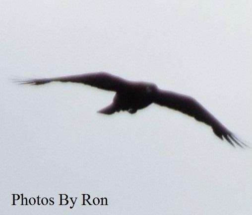 """Winged Messenger"" by Ron Berkley"