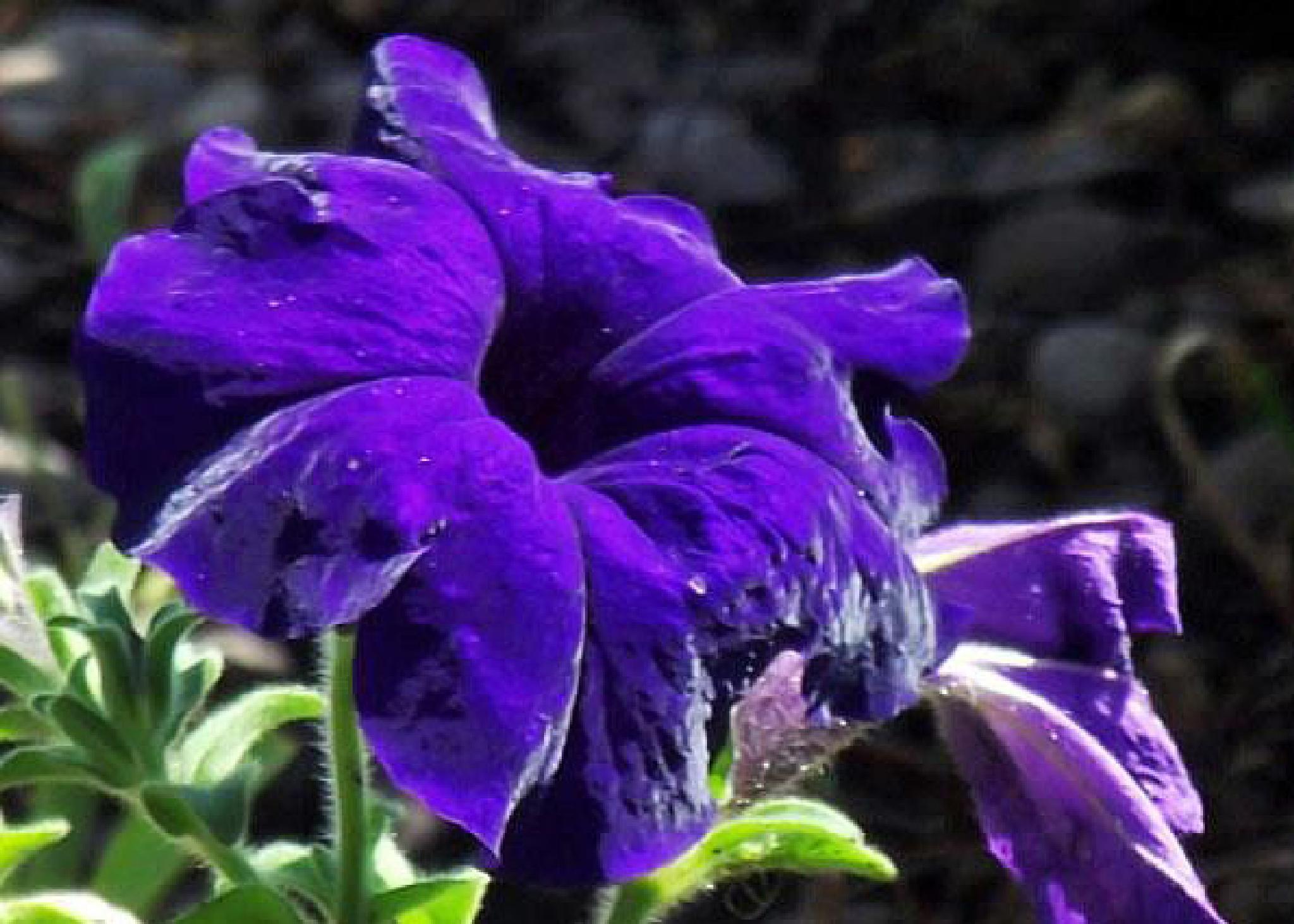 """""""Deeeeeeeeeeeeeeep Purple"""" by Ron Berkley"""