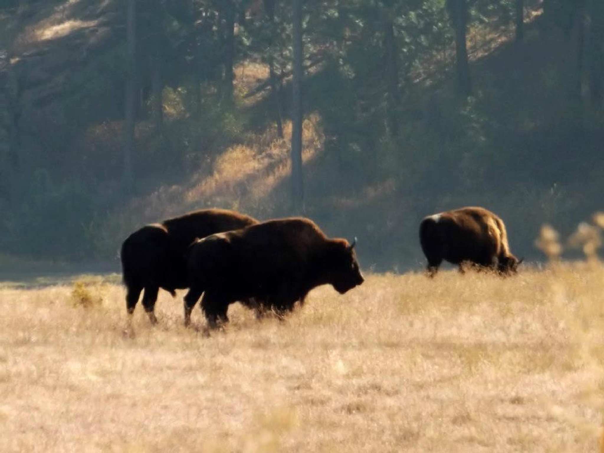 """Bison's In A Field"" by Ron Berkley"