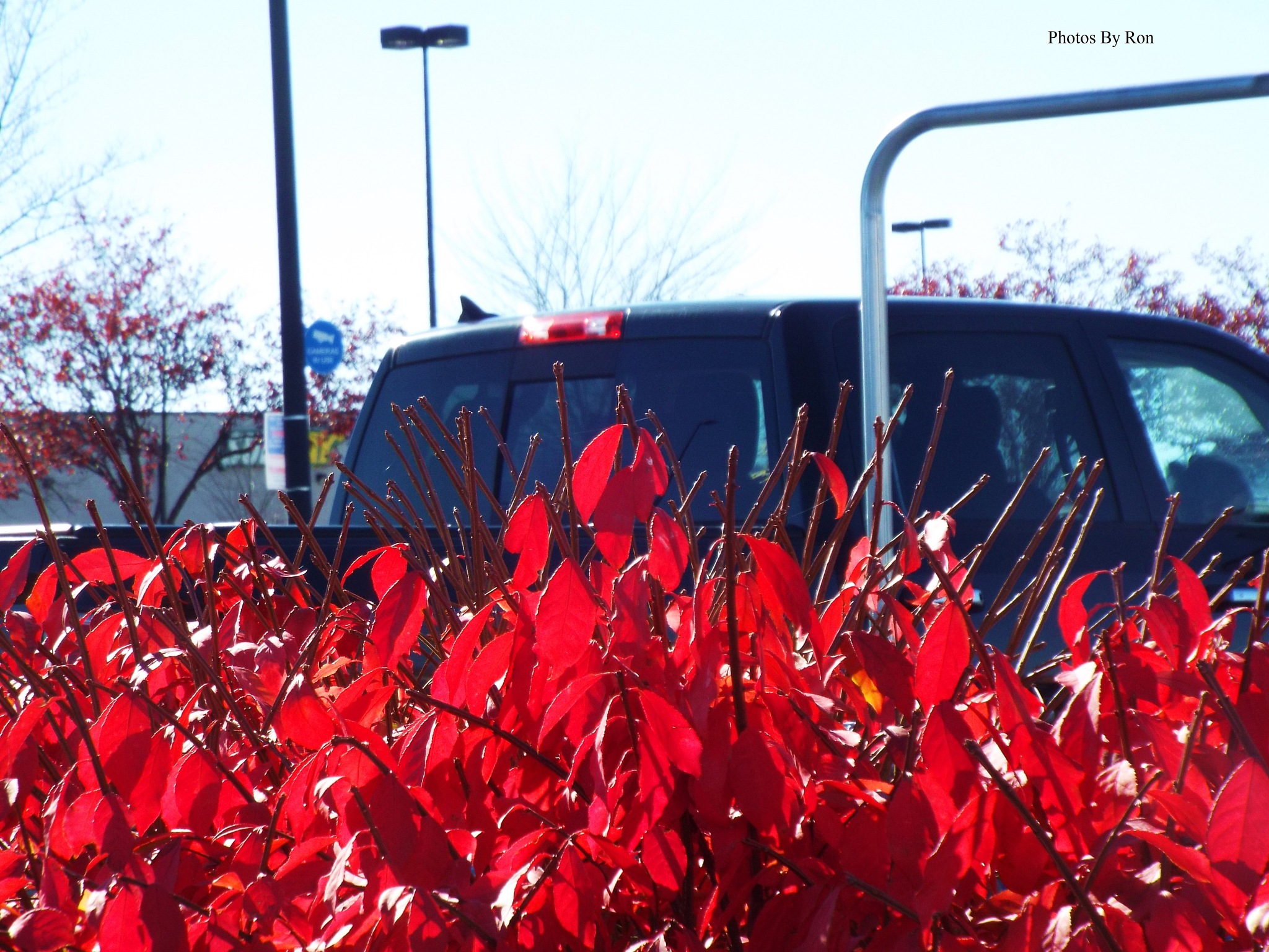 """Fire Bush Leaves In The Wal-Mart Parking Lot""  Pic#1 by Ron Berkley"