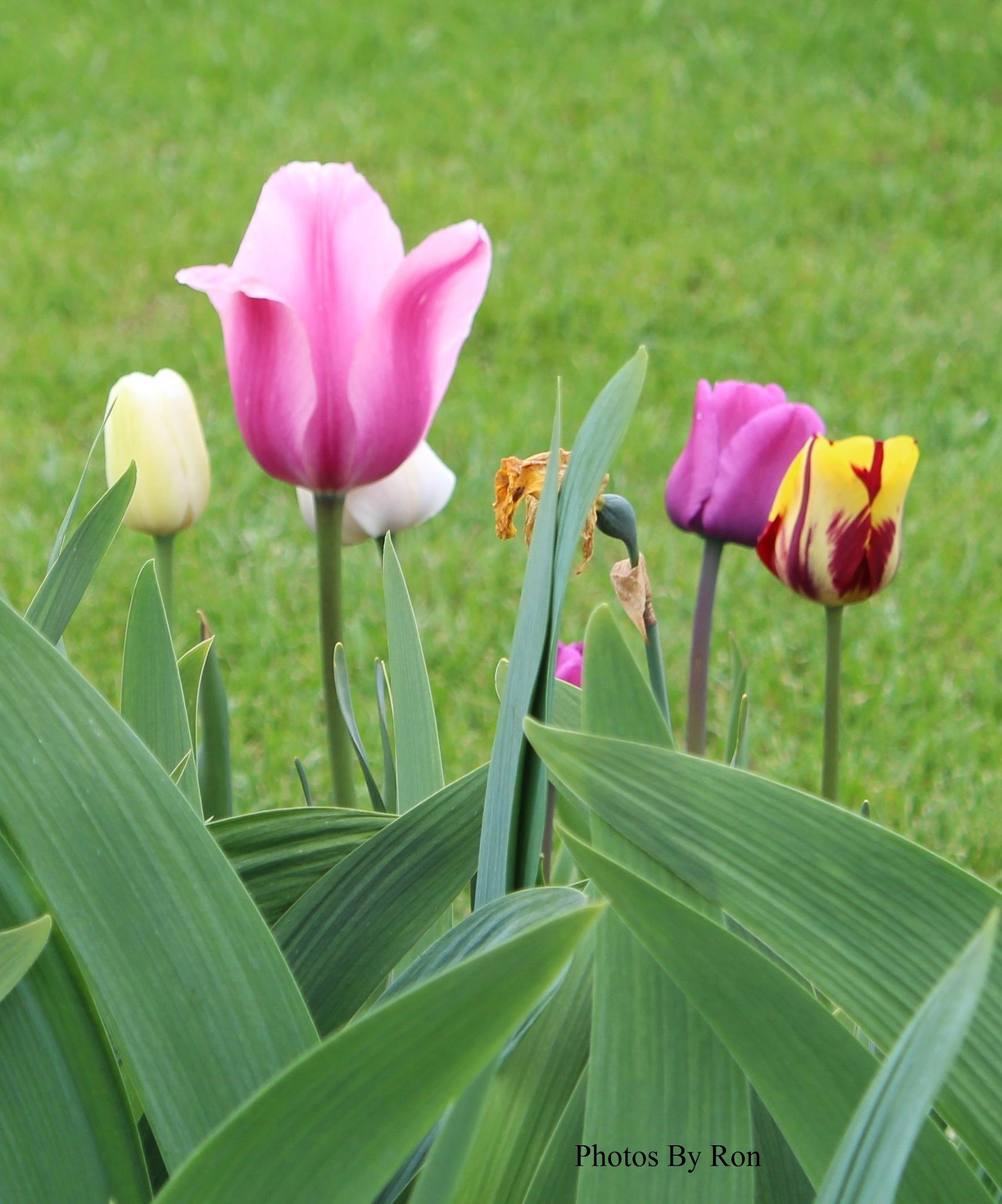 """Tulip Assortment"" by Ron Berkley"
