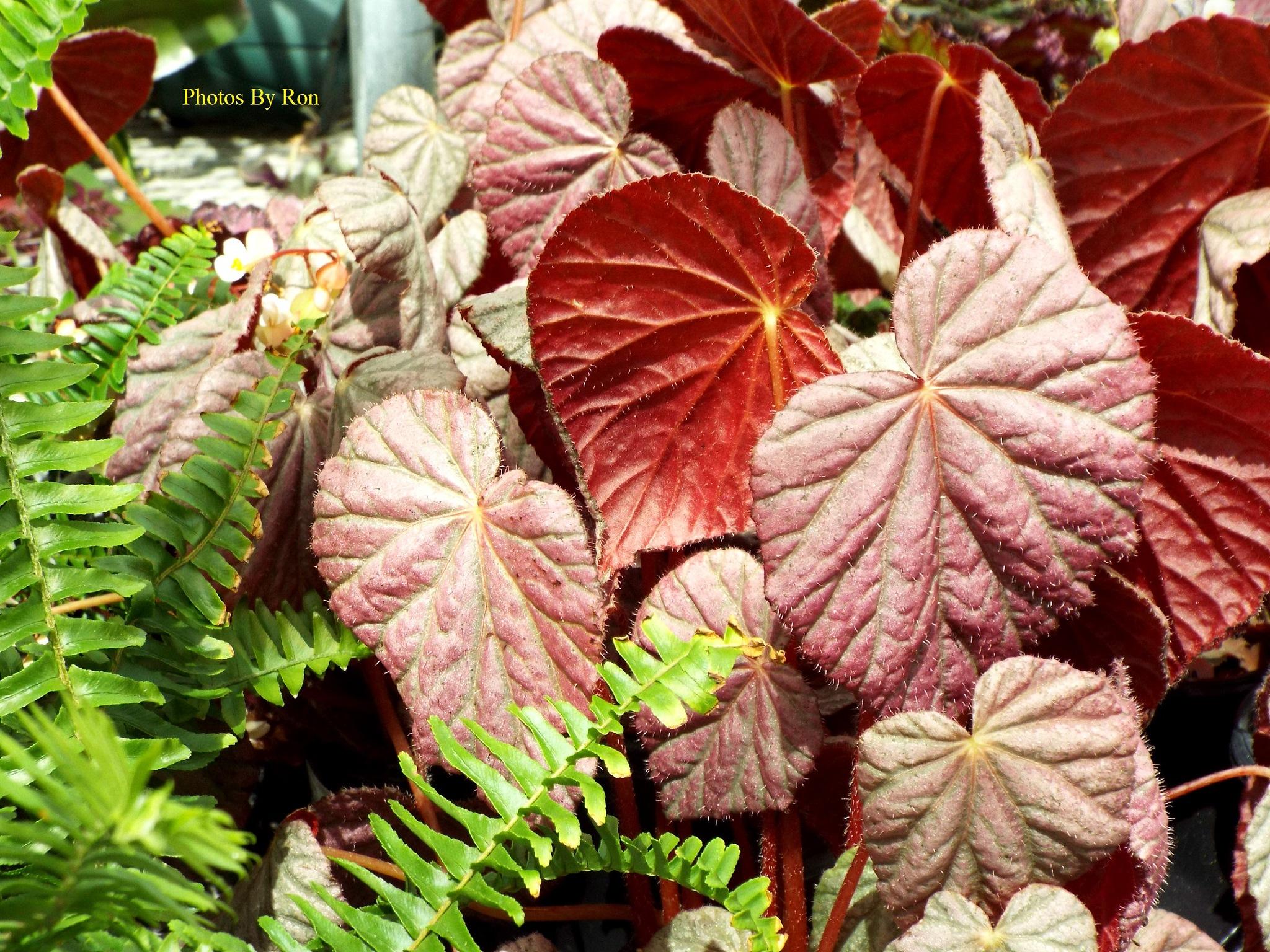 """Ferns & Leaves"" by Ron Berkley"