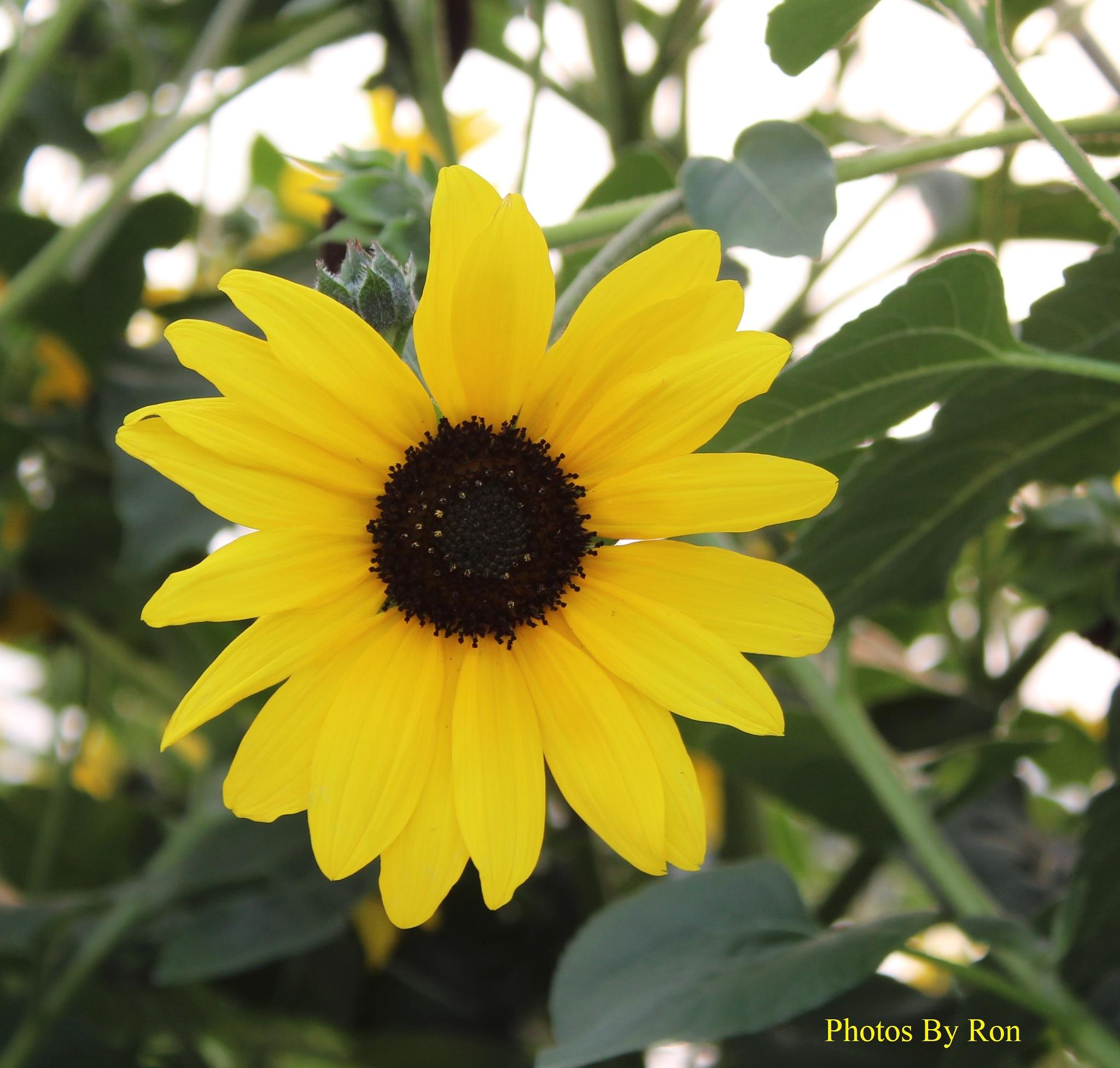 """Sunflower Season"" by Ron Berkley"