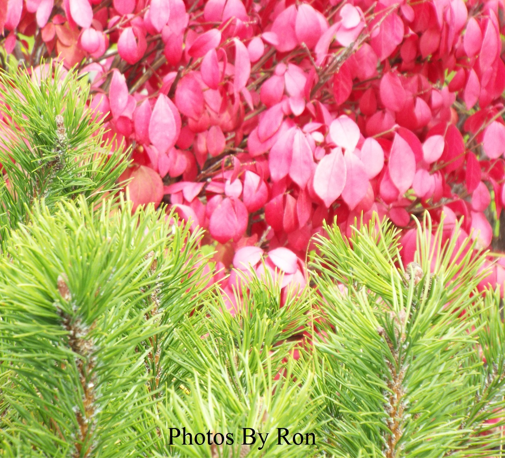 """""""Pink & Green Contrasts"""" by Ron Berkley"""