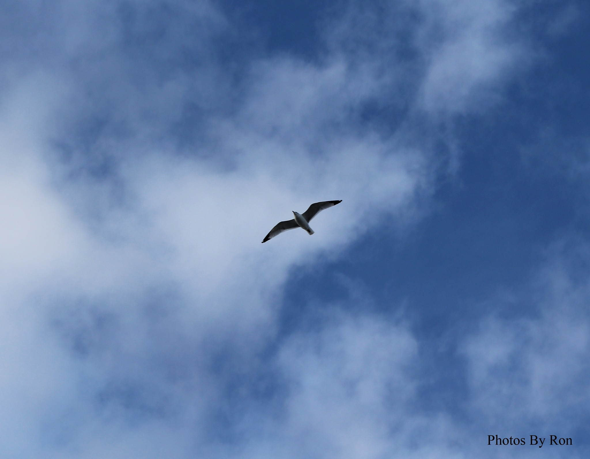 """""""A Seagull Silhouetted Against The Blue And White"""" by Ron Berkley"""