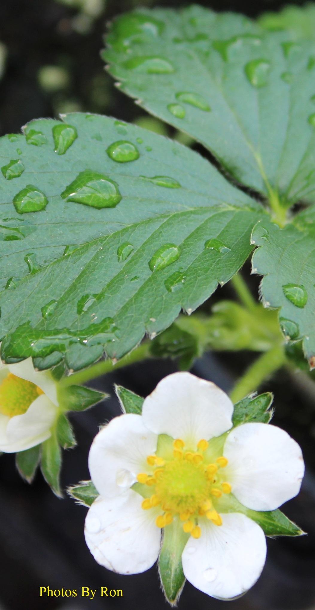 """Strawberry Blossom"" by Ron Berkley"