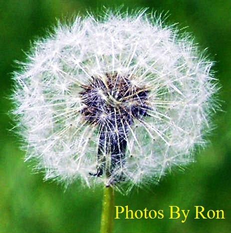 """Macro Shot Of A Dandelion"" by Ron Berkley"