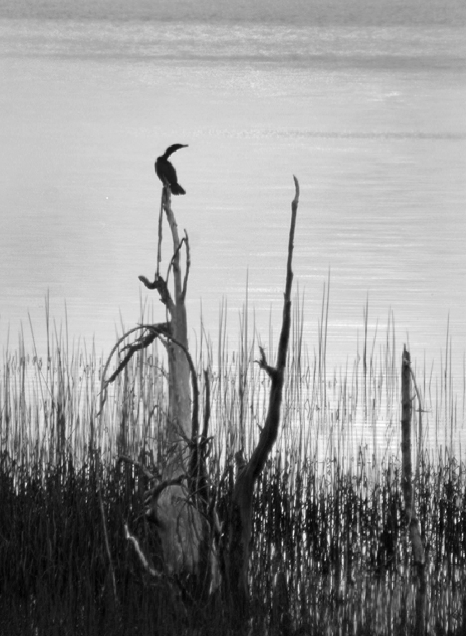Cormorant on Snag by egcaldwell