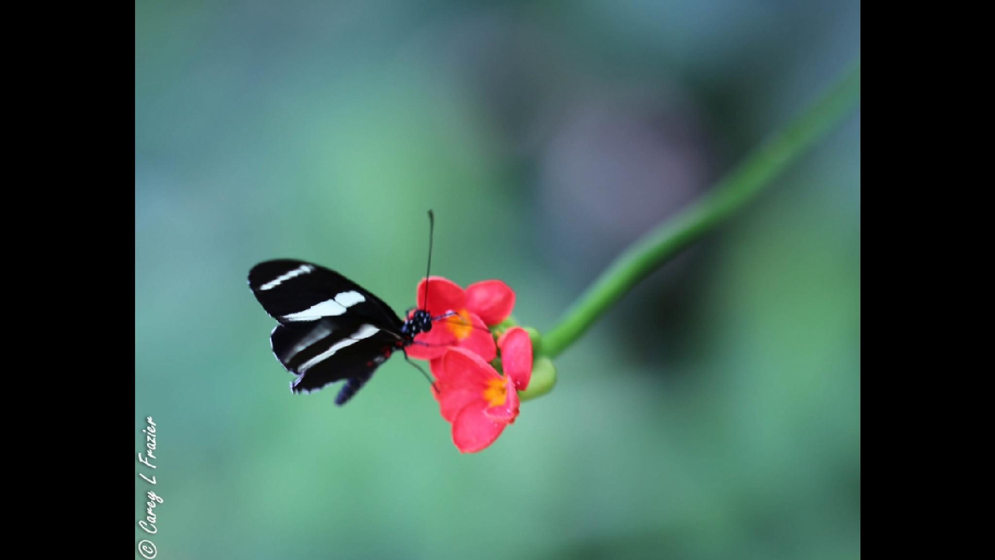 B/W butterfly by careylfrazier