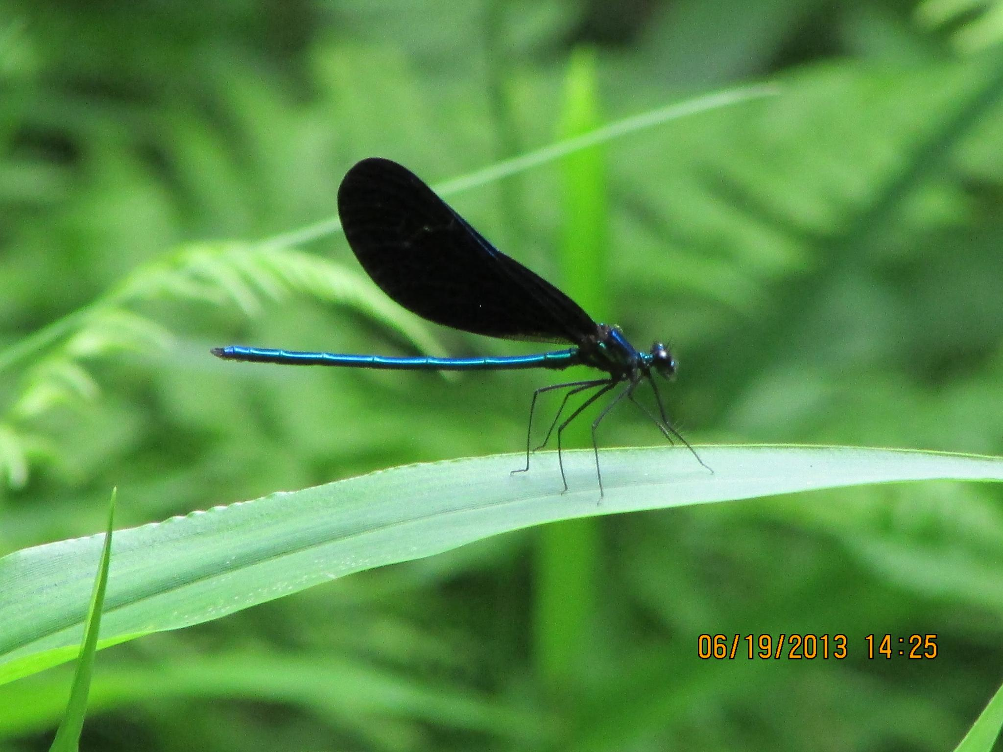 Damsel Fly by LavenderOpalStarlighter