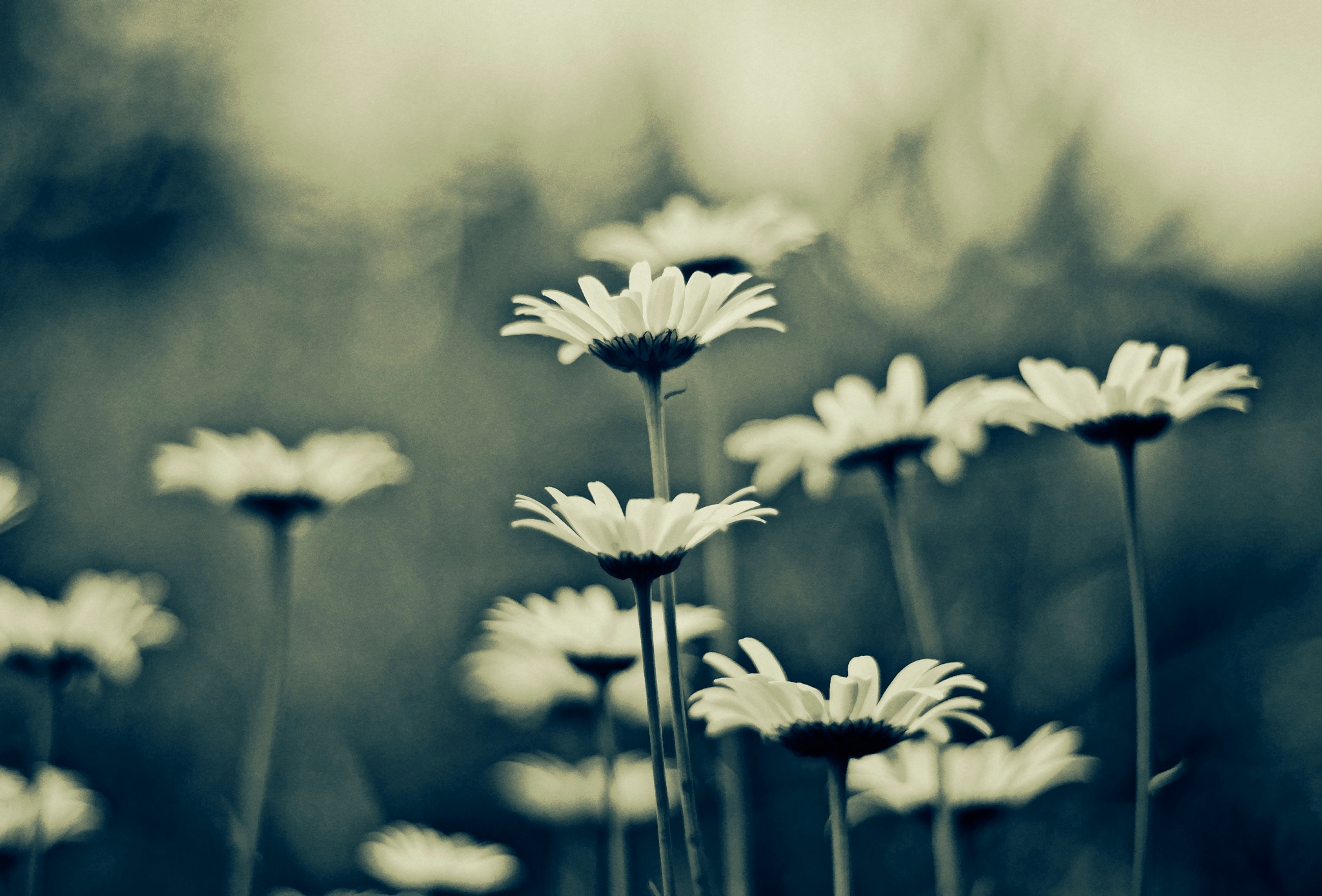 daisies by timtoll
