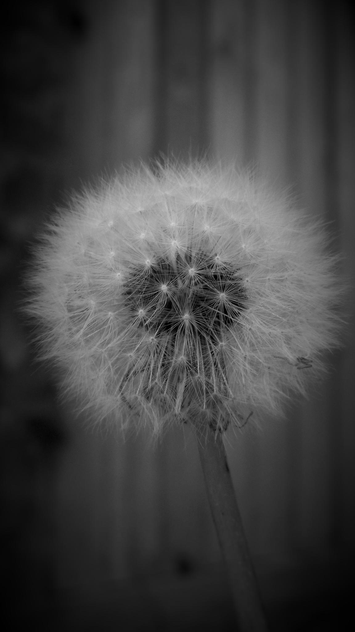 Dandelion Wishes  by fred.clark.359