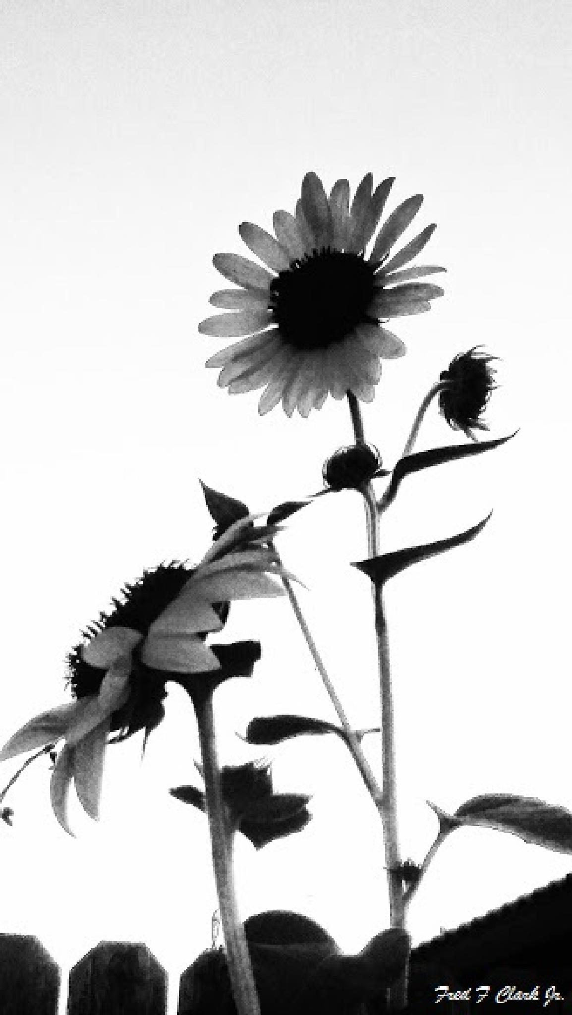 Dark Sunflowers (monochrome) by fred.clark.359