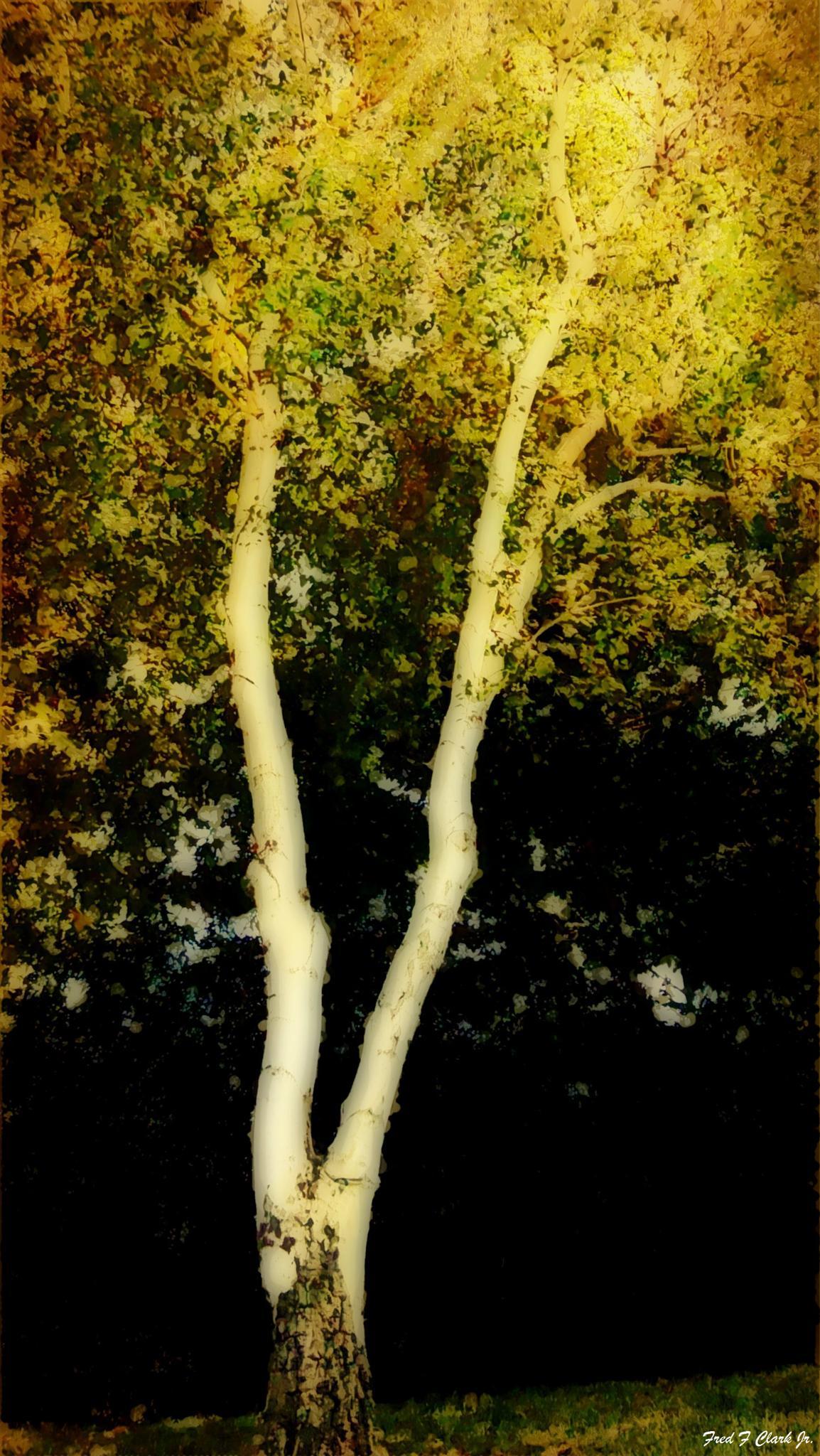 Birch Tree 2 by fred.clark.359