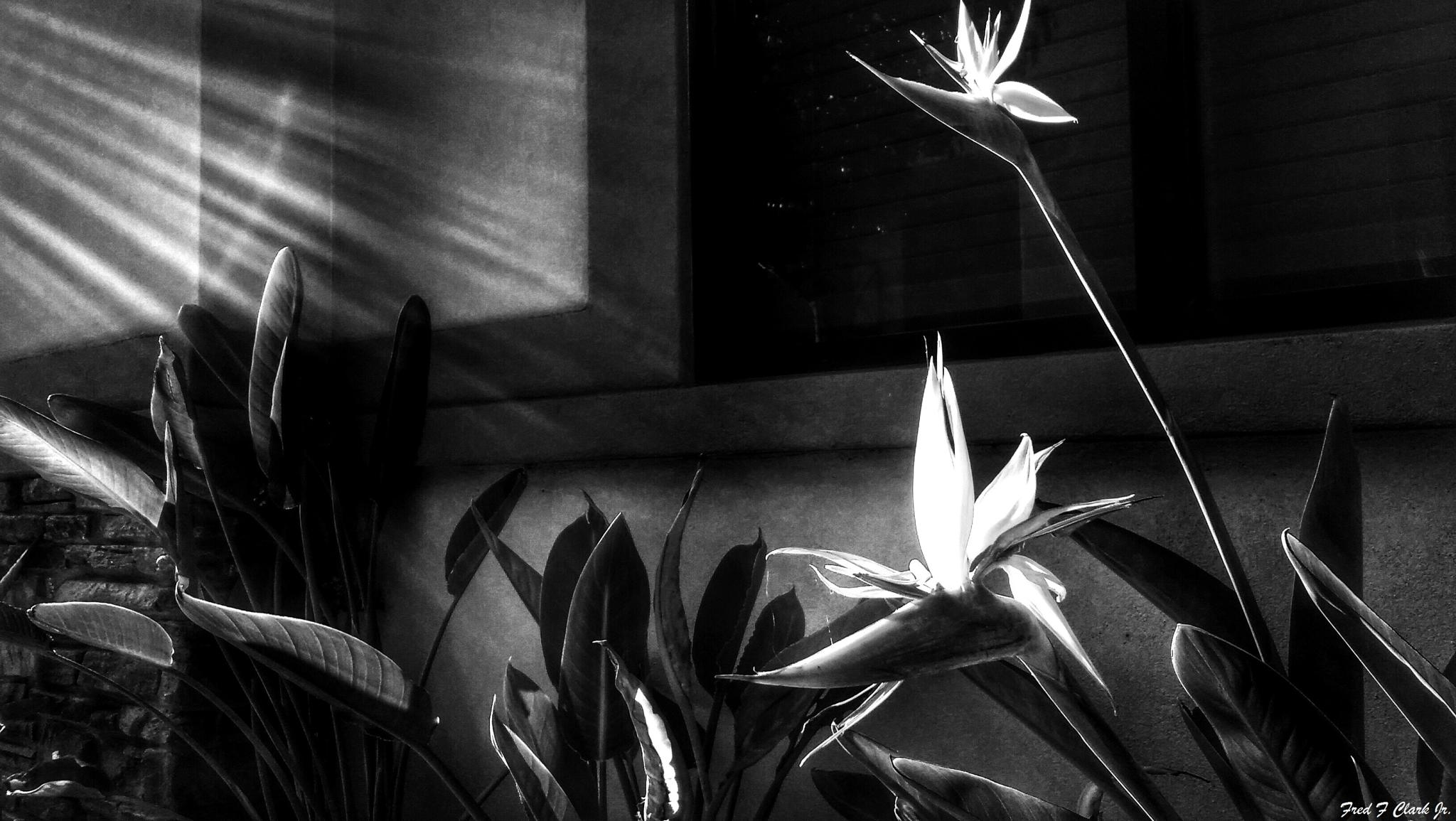 Birds Of Paradise (monochrome) by fred.clark.359