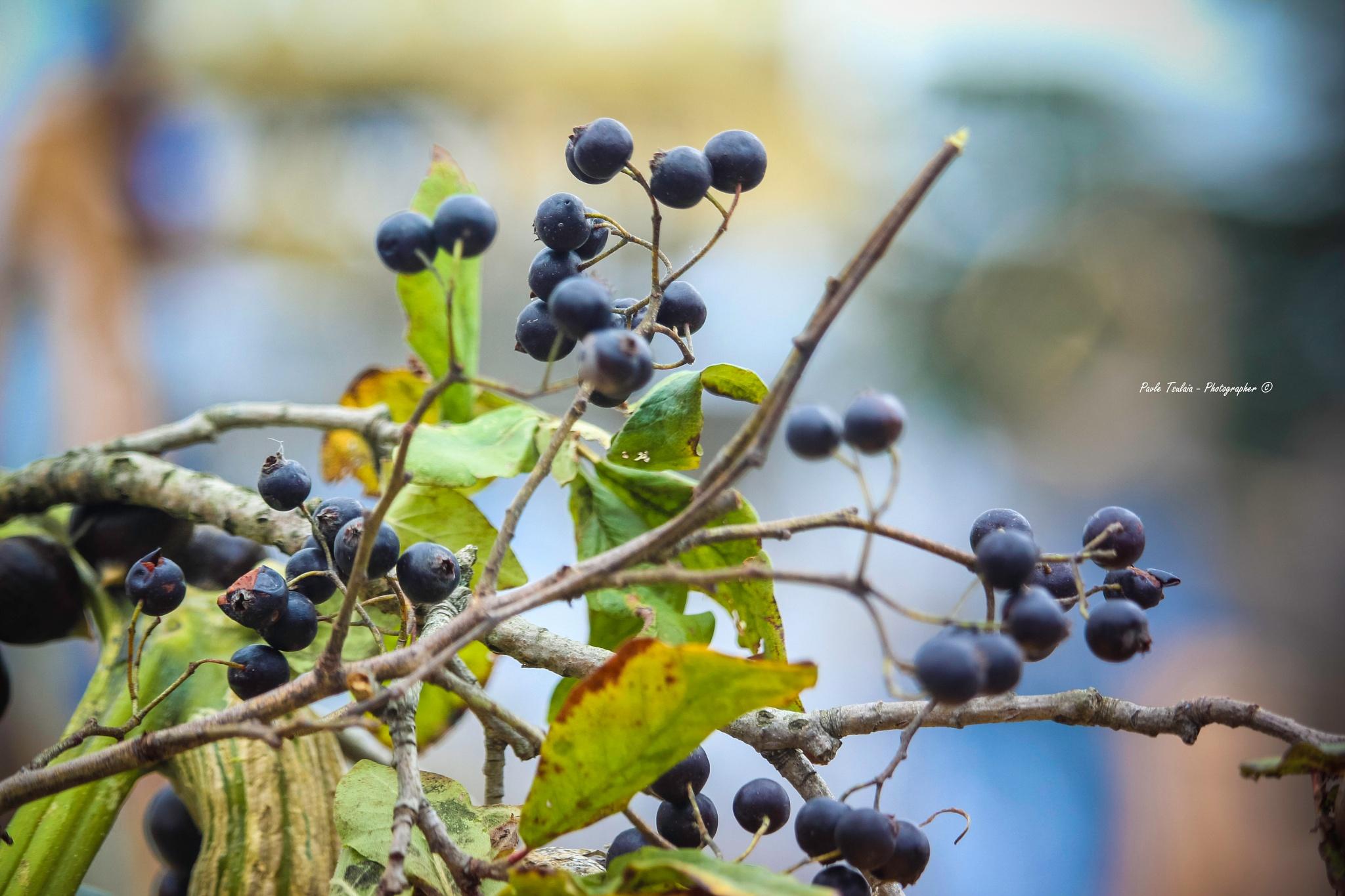 Black Hawthorn by pavle tsulaia