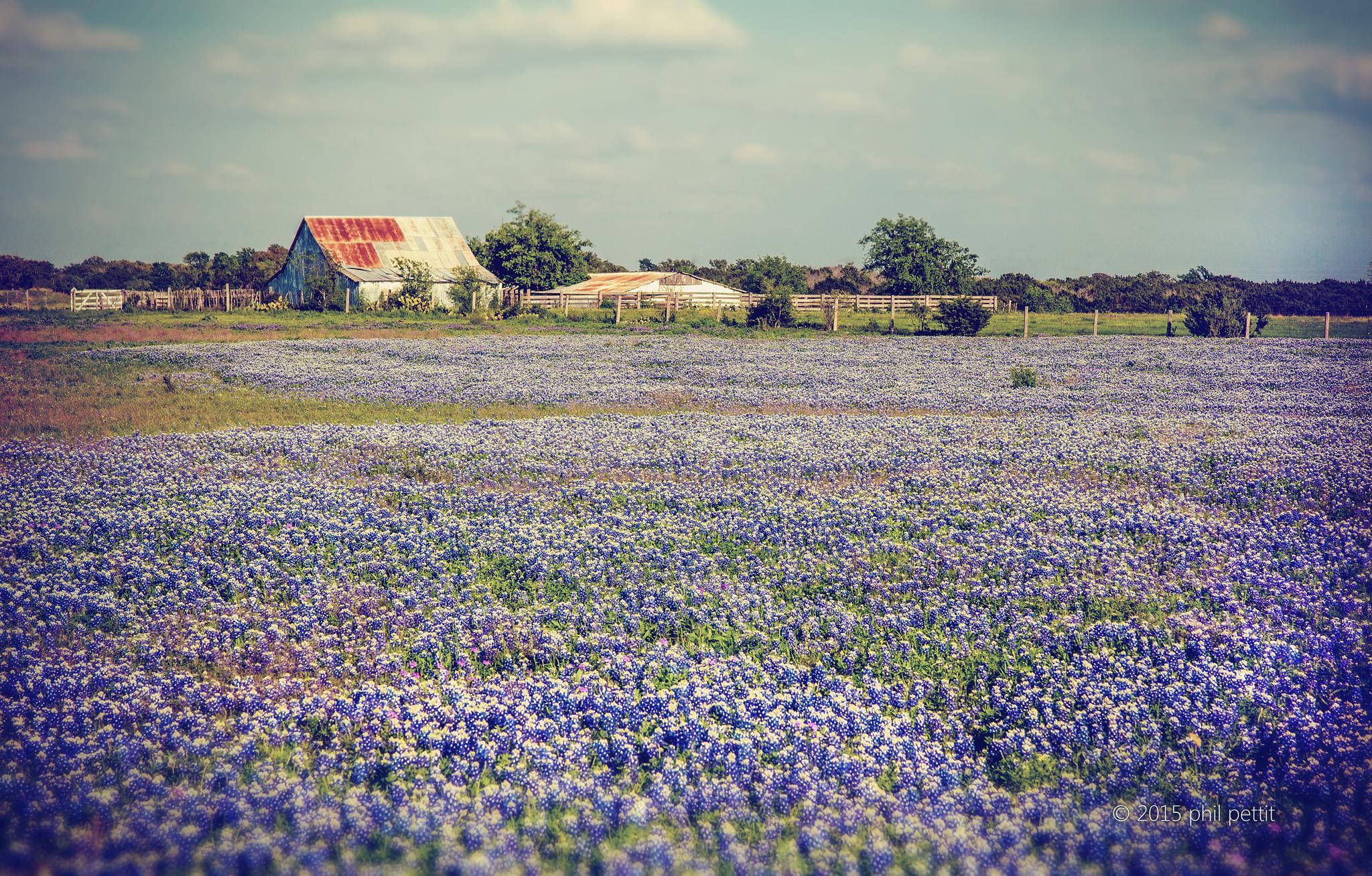 field of bluebonnets by phil.pettit