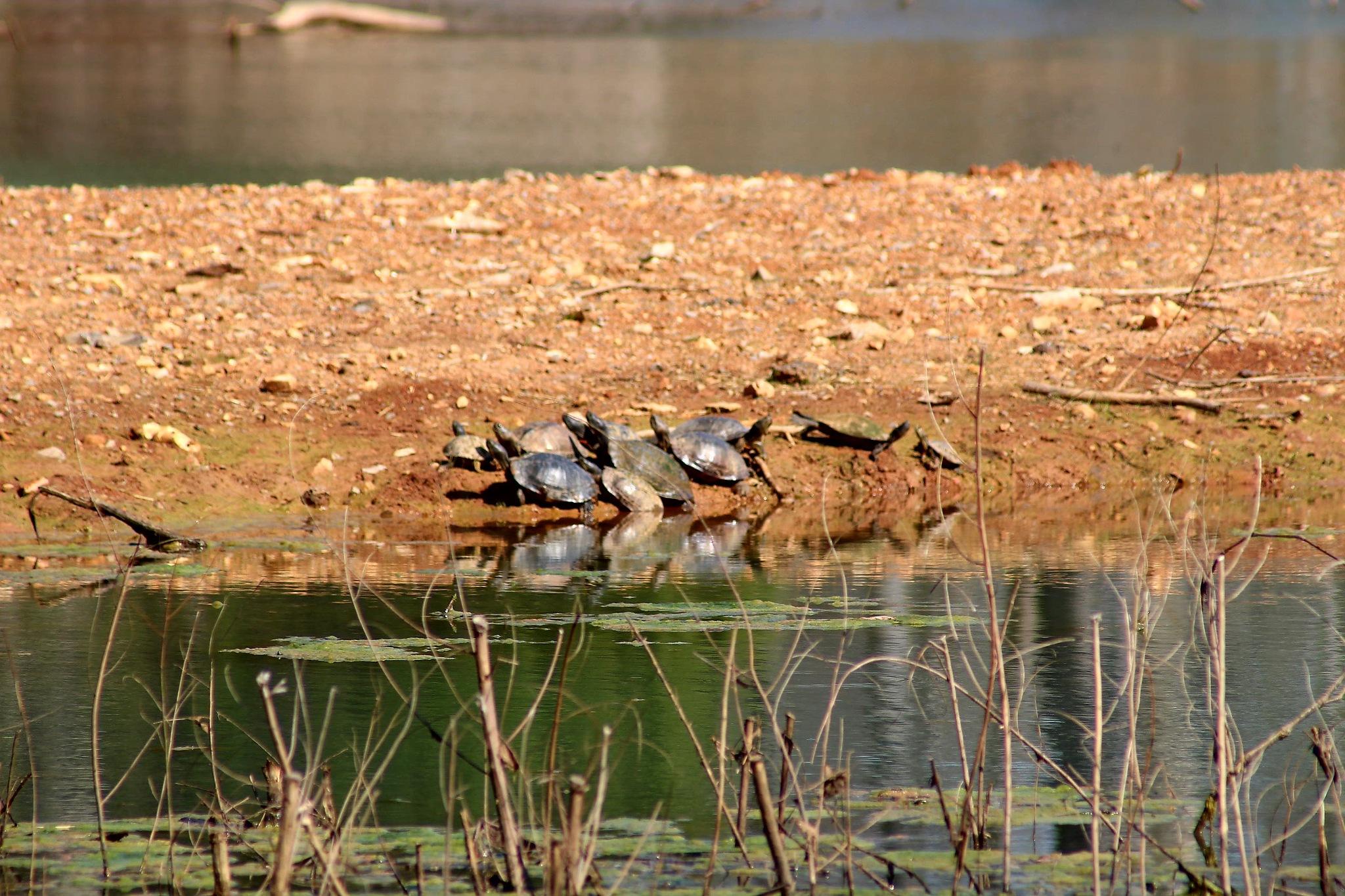 Turtles by Michael Glaze, Jr.