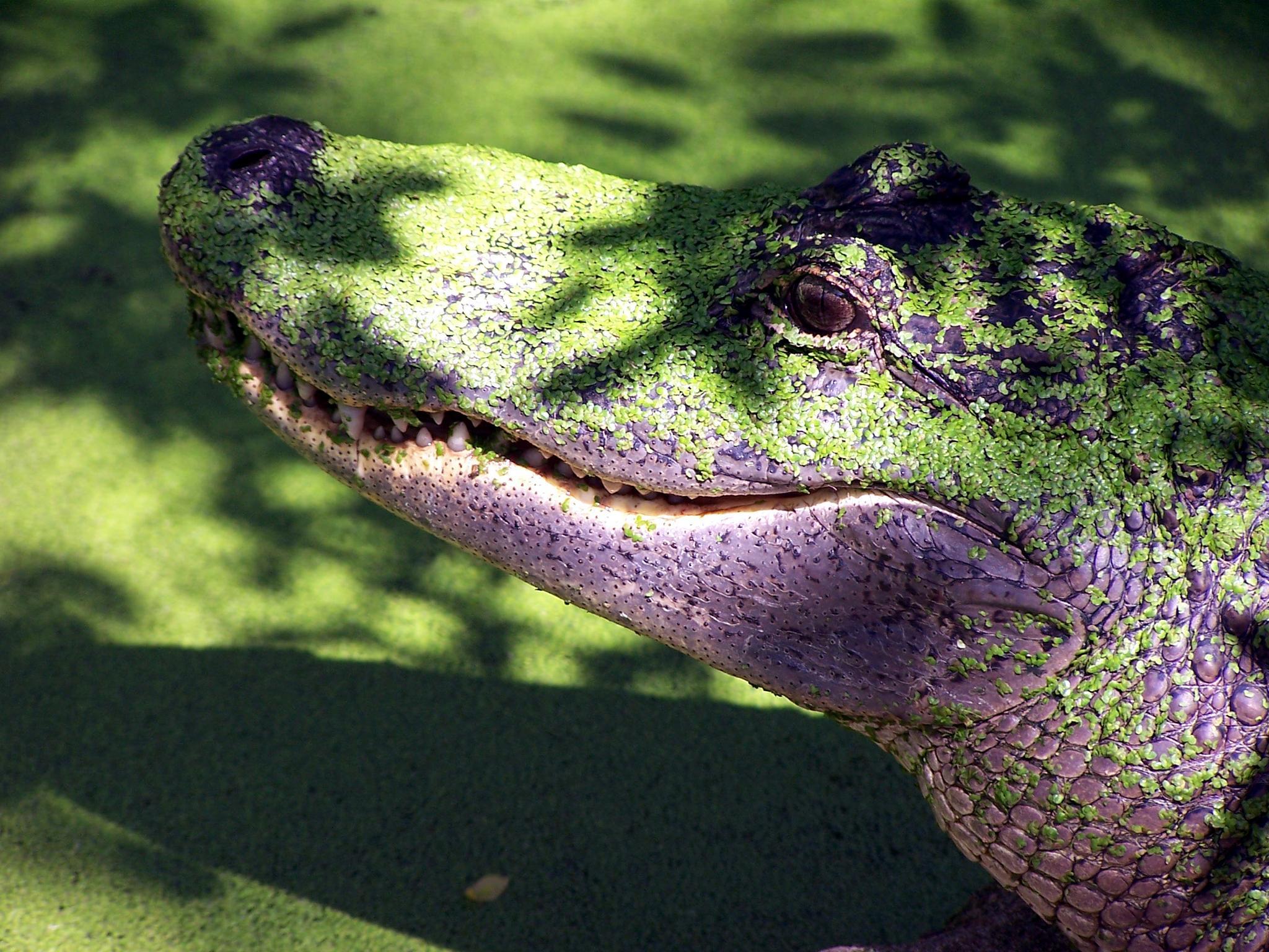 Alligator by Patrick Patterson